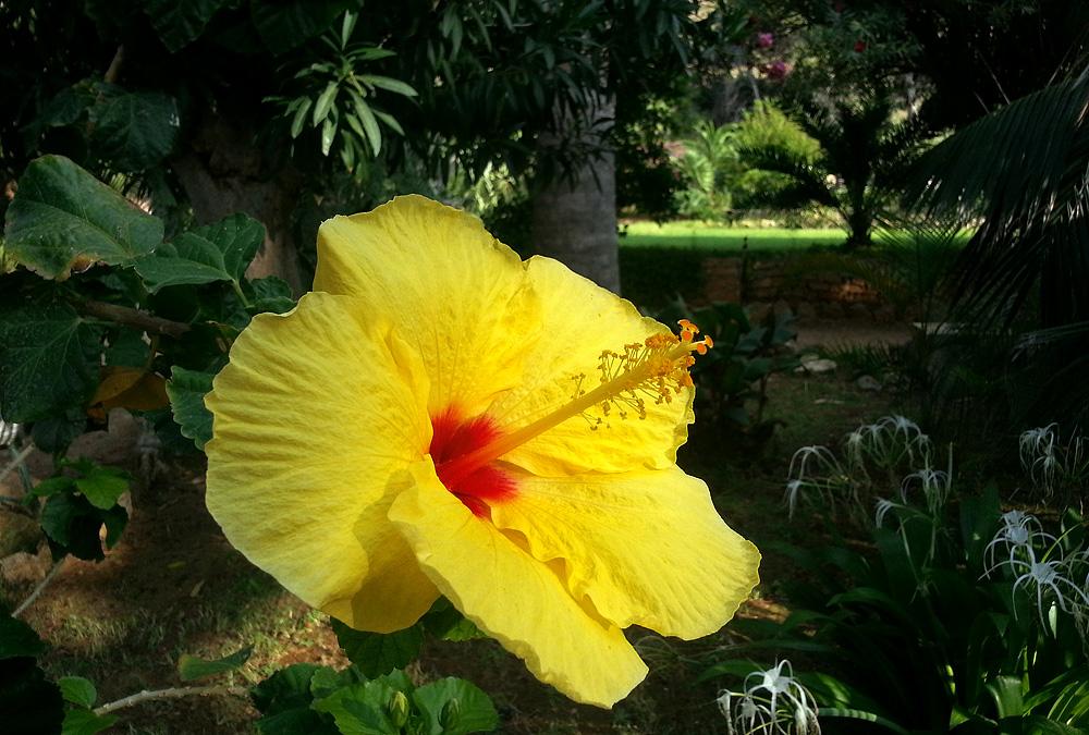 Een Hibiscus in de tuin van de tenuta