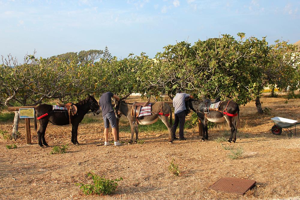 De ezeltjes Tata, Zara en Serenella zijn bijna klaar voor de tocht.