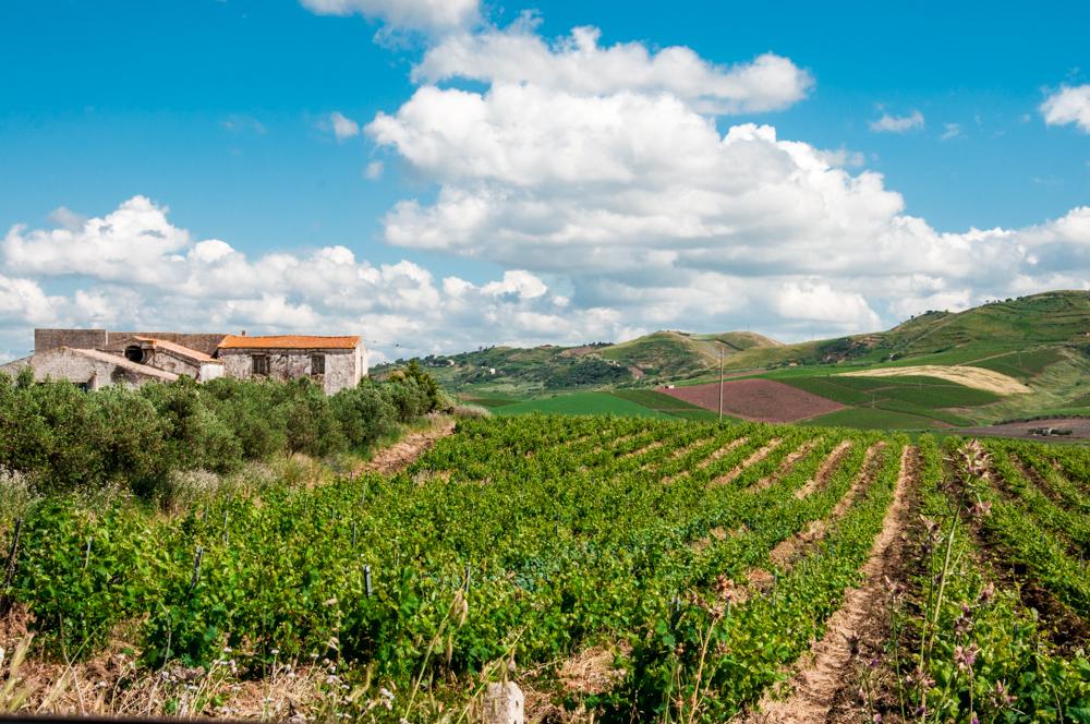 Wijngaarden in Camporeale