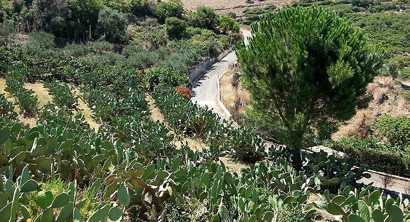 Fichi d'india in Piano Margi in de bergen bij Cinisi