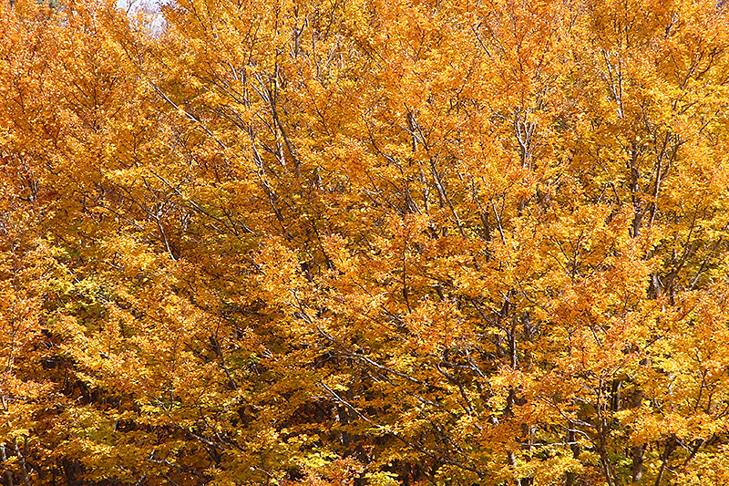 Fall colors in the woods on Mount Etna
