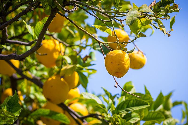 Sicilian lemons