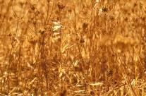 Een graanveld op Sicilië