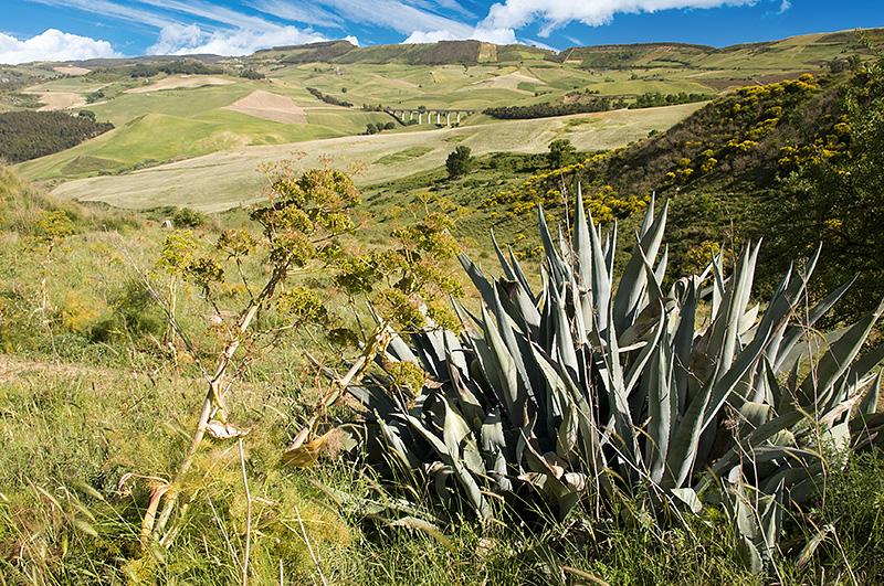 Een agave gigante in een glooiend Siciliaans landschap