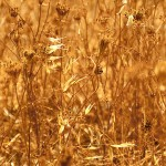 A grain field in Sicily